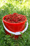 Red Currant basket Royalty Free Stock Photography