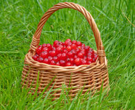 Red currant basket. Basket full of red currant berries on a green grass background Royalty Free Stock Image