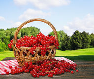 Red currant in a basket Stock Photos