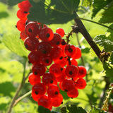 Red Currant berries. Closeup of ripe Red Currant berries on plant Stock Photos