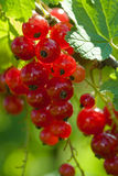 Red Currant berries. Closeup of ripe Red Currant berries on plant Stock Image