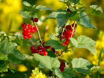 Red currant berries Royalty Free Stock Images