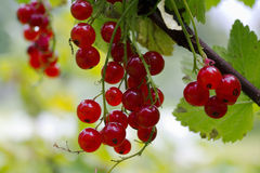 Red currant berries on a branch Stock Images