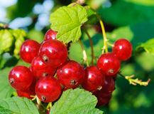 Red currant berries. Stock Photos