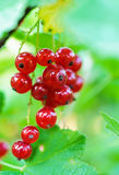 Red currant berries. Royalty Free Stock Photo