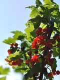 Red currant berries on a branch. On a blue backgroundnn royalty free stock photos