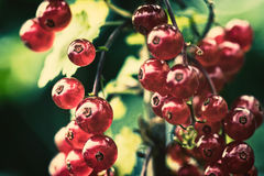 Red currant. Berries on a branch closeup Stock Photo