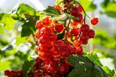 Red currant berries on branch with drops after rain. Ripe red currant close-up as background. Concept of nature, organic food and. Gardening. A copy space for stock photo