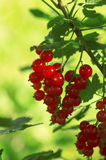 Red currant berries on a branch Royalty Free Stock Photo
