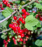 Red currant berries. On a branch in the garden royalty free stock photography