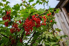 Red currant berries on a branch with green leaves stock images