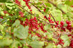 Red currant berries on branch at summer garden Stock Photo