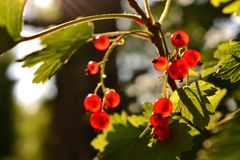 Red currant berries bunch on a bush in the summer sunlight. Ripe red currant berries, shining and tasty stock image