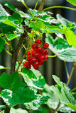 Red currant berries. royalty free stock photos
