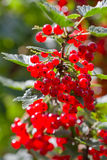 Red Currant berries on a bush Royalty Free Stock Images