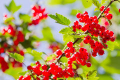 Red Currant berries on a bush Stock Images