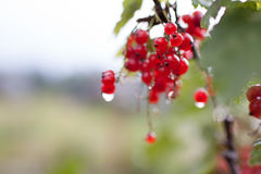 Red currant berries on a bush. Bunch of red currants in the garden Stock Images