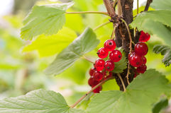 Red Currant berries on bush. Royalty Free Stock Photo