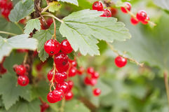 Red Currant berries on bush closeup Stock Photography