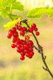 Red Currant berries on a bush closeup Royalty Free Stock Photos
