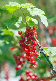 Red Currant berries on a bush closeup Stock Photo
