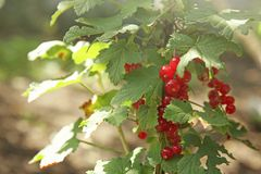 Red currant berries on bush stock photo