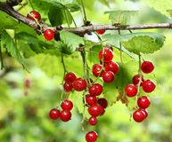 Red currant  berries growing Stock Photos