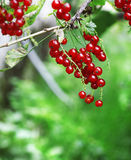 Red currant berries hang on bush. Closeup Stock Photo
