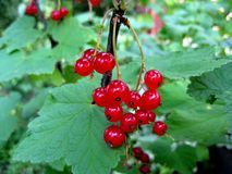 Red currant berries with leaves Royalty Free Stock Photos
