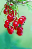 Red currant berries and leaves in a summer garden Royalty Free Stock Image