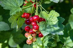 Red currant berries macro. Red currant berries, fresh, nature royalty free stock images