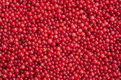 Red Currant Berries Royalty Free Stock Photos