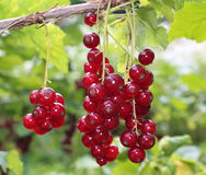 Red currant. Berries on the plant Royalty Free Stock Photography