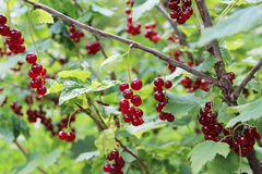 Red currant. Berries on the plant Royalty Free Stock Image