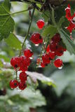 Red currant berries. After rain Stock Photo