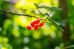 Red currant berries. On the branch stock images