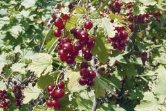 Red currant berries. Red currant bush with berries and green leaves Stock Images