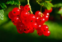 Red currant berries (Ribes rubrum) Royalty Free Stock Images