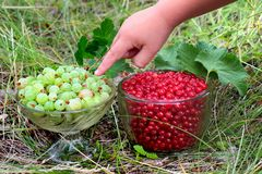 Red currant berries Ribes Rubrum and gooseberries Ribes uva-crispa in glass bowls.  royalty free stock image