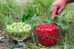 Red currant berries Ribes Rubrum and gooseberries Ribes uva-crispa in glass bowls.  stock image