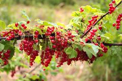 Red currant berries Ribes Rubrum and leaves on a bush.  stock photos