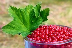 Red currant berries Ribes Rubrum with leaves in a glass bowl.  stock image