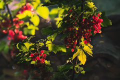 Red currant berries. Ripe red currant berries in the garden Stock Photography