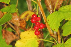 Red currant. Berries. Stock Photography