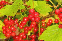 Red currant. Berries. Stock Photos