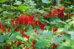 Red currant berries ripening on bush Stock Image