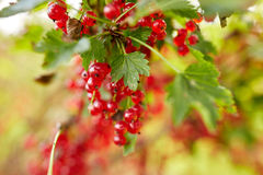 Red currant berries at summer garden Stock Photo