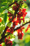 Red currant berries in summer sun rays Royalty Free Stock Images