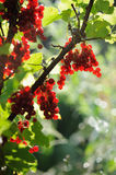 Red currant berries in summer sun rays Stock Photo