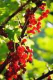 Red currant berries in summer sun rays Stock Images